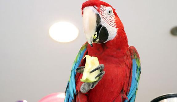 Dans Eden Papağan Otomobil Fiyatına Satılıyor