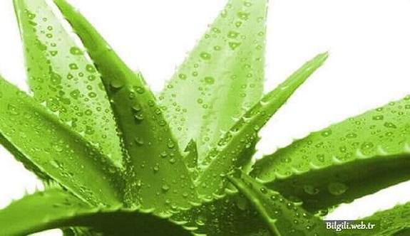 Aloe Veranın Faydaları ve Zararları