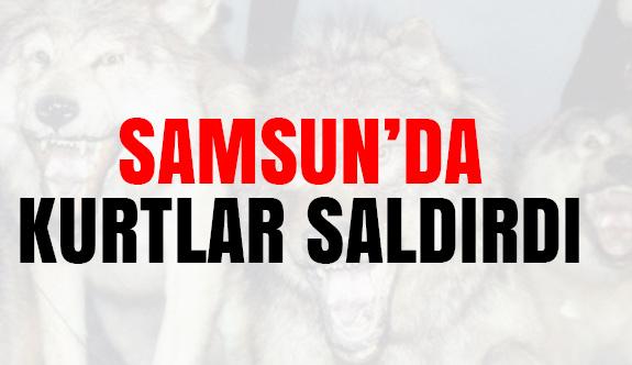 Samsun'da kurtlar Saldırdı...
