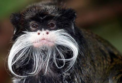Dünya bu Maymunları Arıyor...