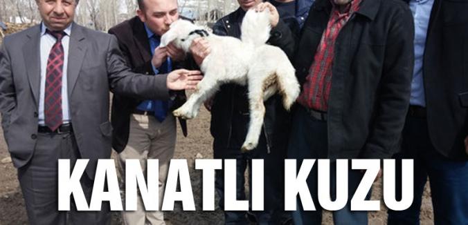 Erzurum'da kanatlı kuzu...