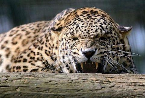 Hindistan'da bir kadın leopar öldürdü