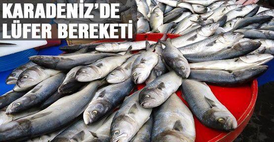 Karadeniz'de lüfer bereketi