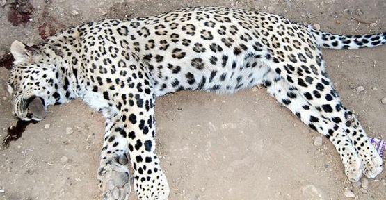 Leoparın vurulmasıyla ilgili soruşturma sürüyor...