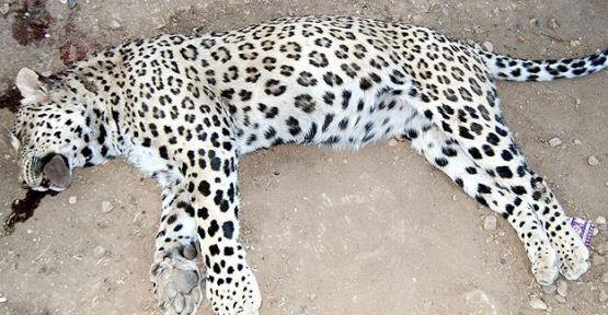 Öldürülen leopar İran Parsı çıktı