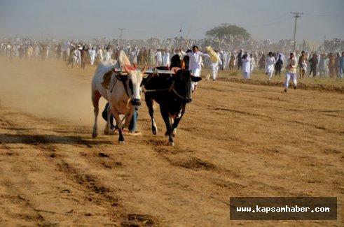 Pakistan'da kırsal bölgelerin gözde sporu boğa yarışı
