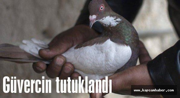 Pes doğrusu! Güvercini tutukladılar