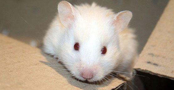 Sağlıklı uzun yaşamın sırrı kör farede