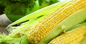 Türk mısırında GDO yok