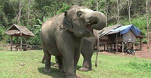 Çin'de fil köylülere saldırdı: 1 ölü, 1 yaralı