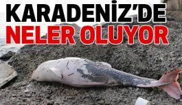 Karadeniz'de Yunus Balıkları Ölü Bulundu