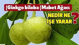 Ginkgo biloba  Nedir? (Mabet Ağacı) Ne işe yarar?