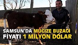 Samsun'da 1 Milyonluk mucize Buzağı görenleri şaşırtıyor