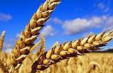 Çiftçilerin umudu buğdayda