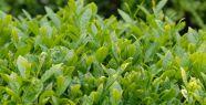 Yeşil çay hafızayı güçlendiriyor...