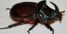 Dünya'nın en güçlü böceği Amasya'da bulundu