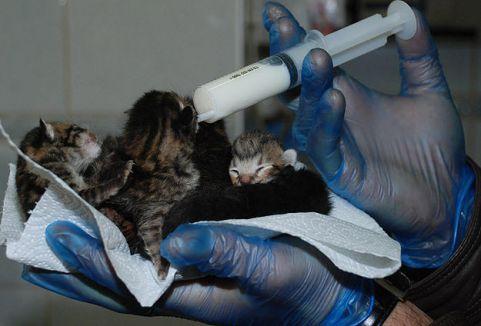 Yapışık altız kedi yavruları şaşırtıyor...