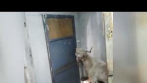 Kapı Çalınca Açan Keçi İlgi Odağı Oldu